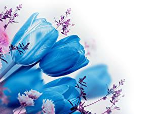 Hintergrundbilder Tulpen Nahaufnahme Weißer hintergrund Hellblau Ast Blumen