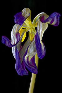 Fotos Tulpen Nahaufnahme Schwarzer Hintergrund Withered tulip Blumen