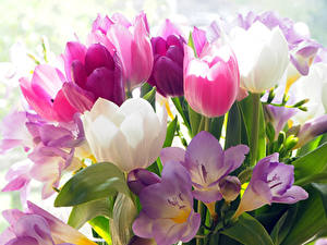 Hintergrundbilder Tulpen Krokusse Hautnah Blüte