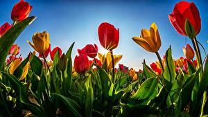 Fotos Tulpen Acker Lichtstrahl Blüte