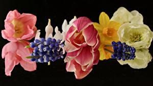 Hintergrundbilder Tulpen Hyazinthen Großansicht Schwarzer Hintergrund Blüte