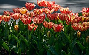 Tapety na pulpit Tulipany Dużo Z bliska Kwiaty