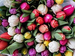 Hintergrundbilder Tulpen Viel Großansicht Mehrfarbige Blumen