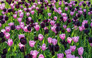 Bilder Tulpen Viel Rosa Farbe Bordeauxrot Blüte