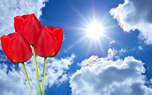 Fotos Tulpen Himmel Rot Drei 3 Wolke Sonne Blumen