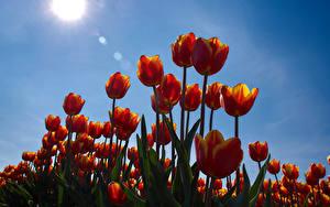 Hintergrundbilder Tulpen Himmel Sonne Blumen