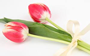 Fotos Tulpen Weißer hintergrund 2 Schleife Blumen