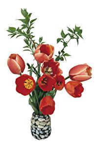 Fotos Tulpen Weißer hintergrund Vase Rot Blüte