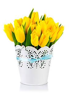 Hintergrundbilder Tulpen Weißer hintergrund Gelb Blumen