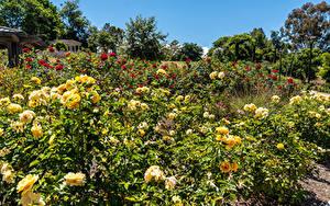 Fotos Vereinigte Staaten Garten Rose Kalifornien Strauch South Coast Botanic Garden Natur