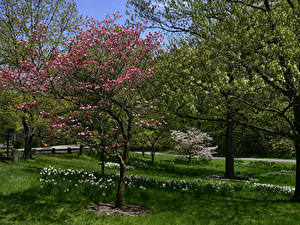 Picture USA Gardens Spring Flowering trees Narcissus New York City Grass Botanical Garden Nature