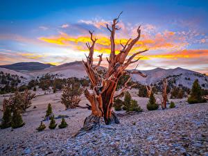 Hintergrundbilder Vereinigte Staaten Gebirge Bäume Kalifornien Ancient Bristlecone Pine Forest