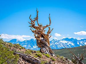 Bilder USA Berg Kalifornien Bäume Bristlecone Pine Forest