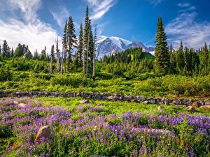 Bilder USA Gebirge Parks Lupinen Bäume Washington Mount Rainier National Park