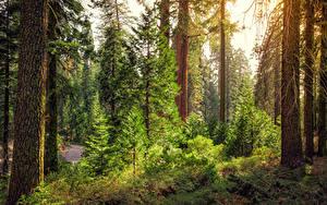 Fotos Vereinigte Staaten Park Wälder Kalifornien Bäume Fichten Kings Canyon National Park