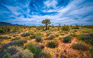Bilder Vereinigte Staaten Parks Kalifornien Bäume Joshua Tree National Park