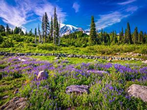 Bilder Vereinigte Staaten Parks Gebirge Lupinen Steine Washington Bäume Mount Rainier National Park Natur