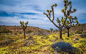 Hintergrundbilder USA Park Frühling Bäume Kalifornien Joshua Tree National Park