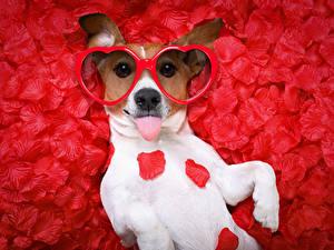 Papéis de parede Dia dos Namorados Cão Jack Russell Terrier Pétala Fundo vermelho Óculos Coração Engraçada animalia