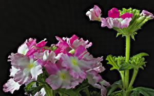 Fotos Verbenen Großansicht Schwarzer Hintergrund Blumen