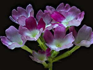 Wallpapers Verbena Closeup Black background Flowers