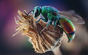 Bilder Wespen Insekten Hautnah Stilbum cyanurum ein Tier