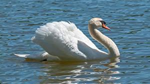 Bilder Wasser Vögel Schwan Weiß
