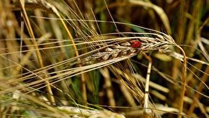 桌面壁纸,,小麦,瓢虫,特寫,小穗,散景,大自然
