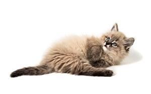 Fotos Weißer hintergrund Liegen Flauschiger Süß Kätzchen