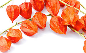 Fotos Weißer hintergrund Ast Orange Winter Cherry, Physalis alkekengi