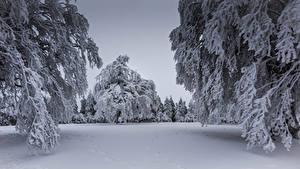 Fotos Winter Schnee Fichten Ast Natur