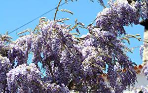 Hintergrundbilder Blauregen Ast Blumen