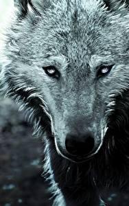 Fotos Wolf Großansicht Gezeichnet Schnauze Starren Tiere
