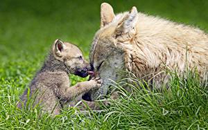 Fotos Wolf Jungtiere Gras Zwei