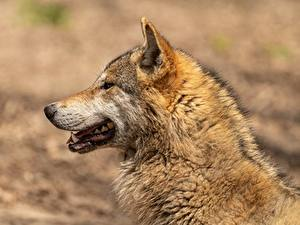 Fotos Wolf Kopf Seitlich Bokeh Tiere