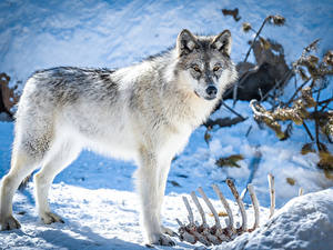 Bilder Wölfe Schnee Knochen Blick Tiere
