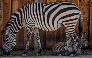 Bilder Zebra Jungtiere 2 Seitlich