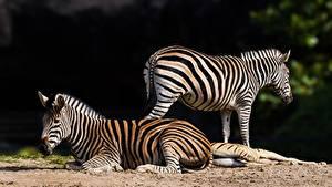 Fotos Zebra Liegt ein Tier