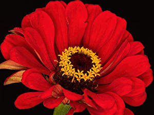桌面壁纸,,百日菊属,特寫,黑色背景,红色,花卉
