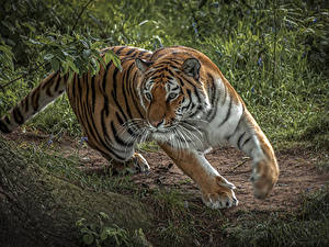 Pictures Big cats Tigers Run Animals