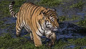 Bilder Große Katze Tiger Sumpf Tiere