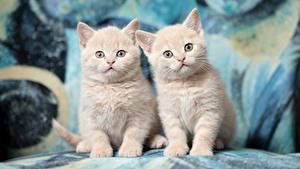 Images Cats British Shorthair Two Kitty cat Glance animal