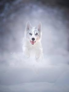 Bilder Hund Lauf Schnee Sprung Australian Shepherd ein Tier