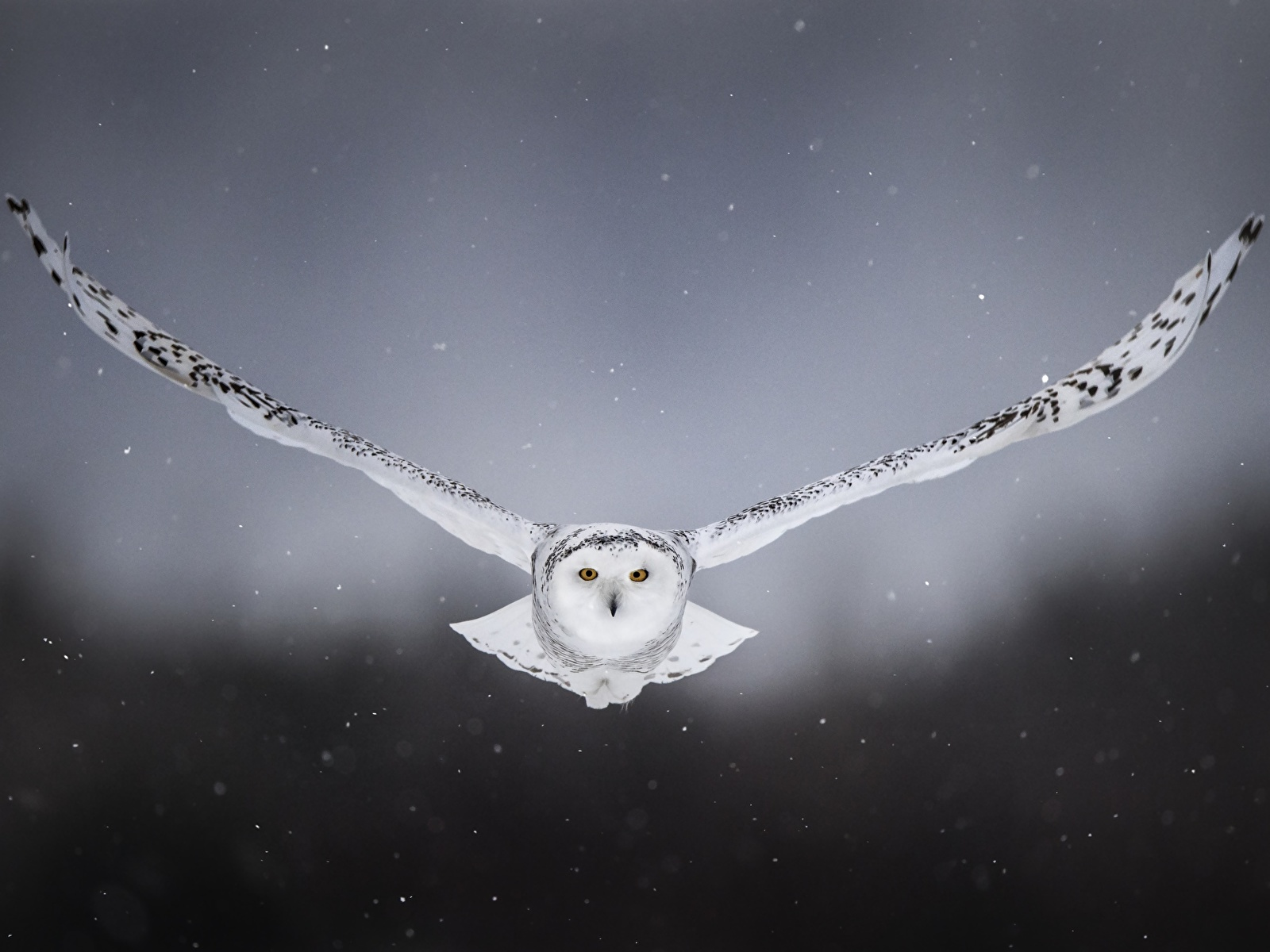 Photos Bird Owls Snowy Owl Front Flight Animal 1600x1200