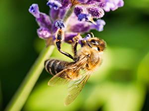 Fotos Bienen Insekten Großansicht Bokeh Tiere