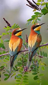 Fotos Vogel 2 Ast European bee-eater ein Tier