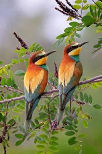 Fotos Vogel 2 Ast European bee-eater ein Tier