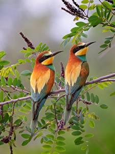 Fotos Vogel 2 Ast European bee-eater