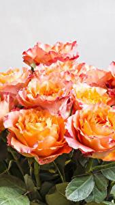 Bilder Sträuße Rosen Nahaufnahme Blumen