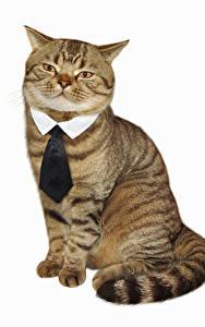 Hintergrundbilder Katze Kreativ Weißer hintergrund Krawatte Sitzen Lustige Tiere